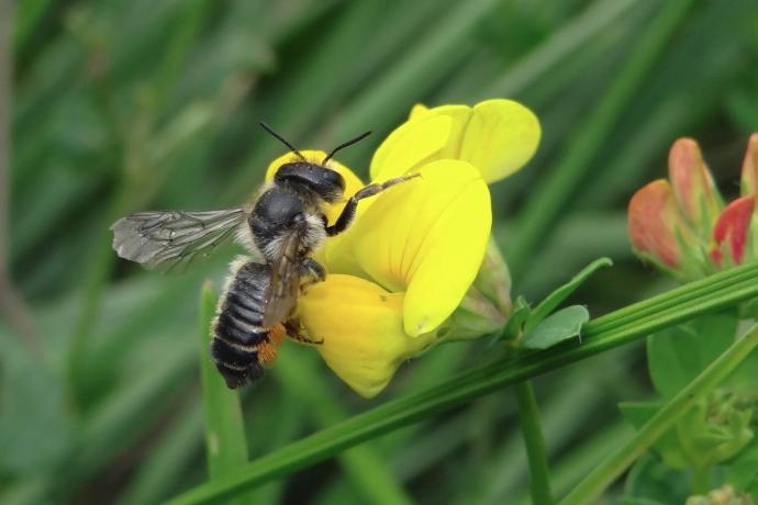 Gemeine Blattschneiderbiene an Hornklee