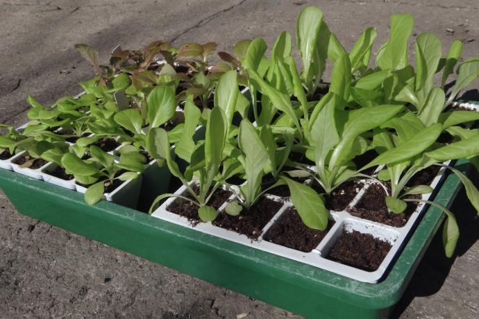 Jungpflanzenanzucht von Salaten