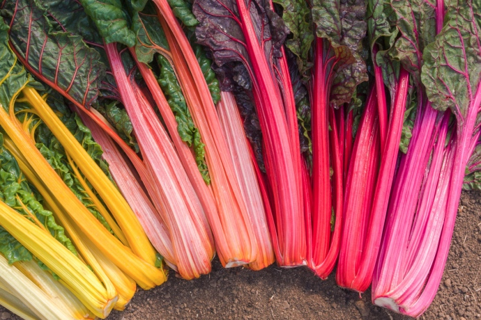 Mangold Rainbow Bingenheimer Saatgut AG