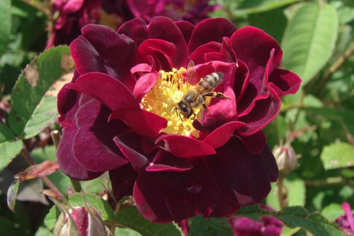 Rose Tuscany