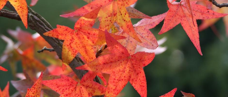 Indian Summer - der Ahorn färbt sich feuerrot